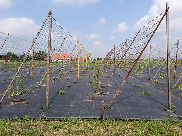 A mulcsozás és a talajtakarás segít a gyomok megfékezésében - képünkön paradicsom palántázása
