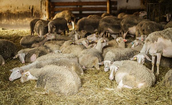 Lacaune juhok pihennek a Bévárdi majorban- Fotó: Adam's Photovision