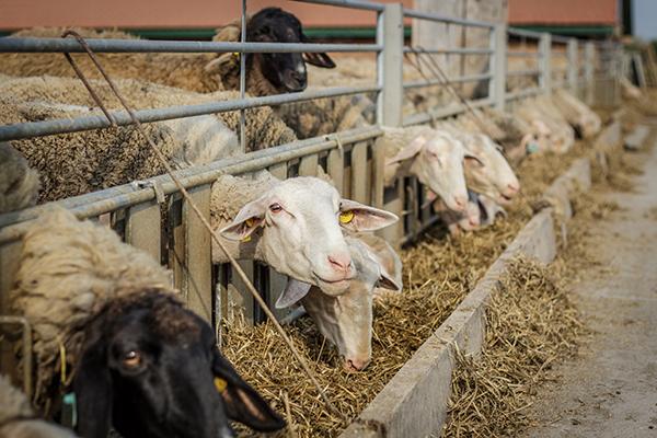 A dunapataji Lacaune juhok kiváló körülmények között élnek- Fotó: Adam's Photovision