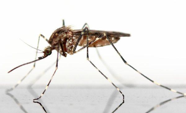 A szúnyogpopuláció nagy mértékű visszaesését figyelték meg (Fotó: Pixabay, buchse12)