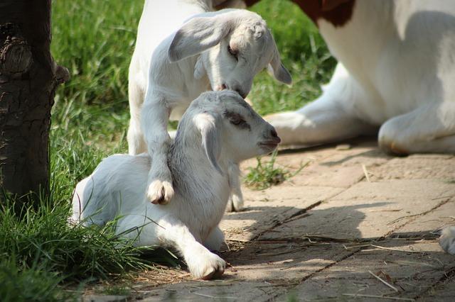 Érzelmeket közvetítenek a kecskék: kísérletben vizsgálták az állatok viselkedésében és fiziológiájában bekövetkezett változásokat