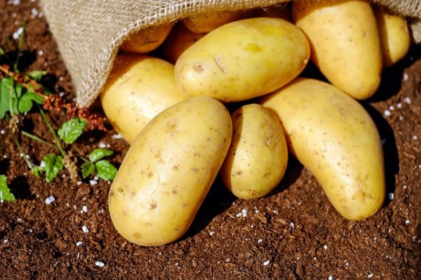 A megfelelő mennyiségű és minőségű hazai burgonyafajta biztosíthatja a növény sikeres termesztésének jövőjét
