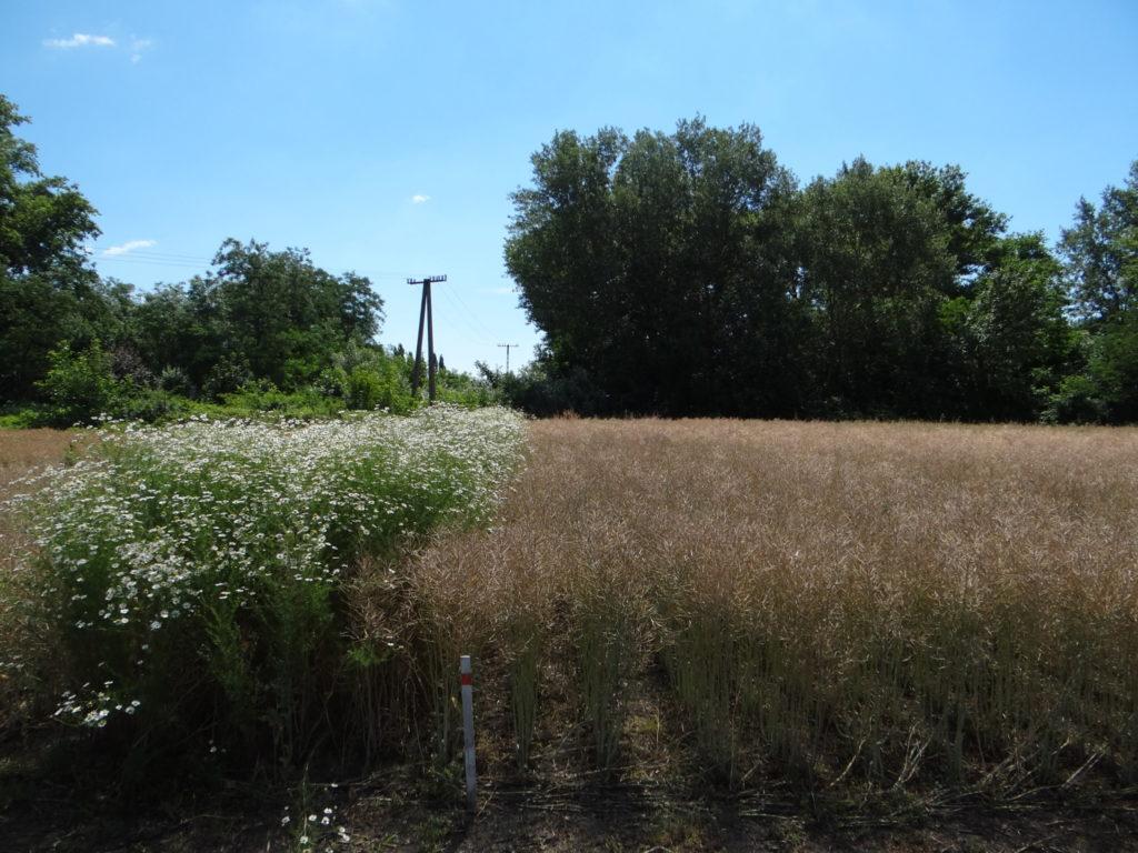 1.kép - Runway hatása ebszikfű ellen a kezelést követő évben 2015. június, Szolnok