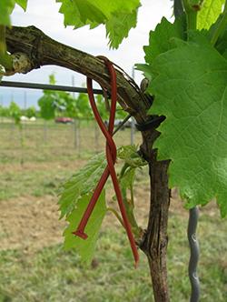 Így néz ki a légtértelítés diszpenzere szőlőn