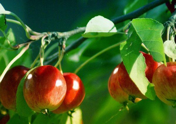 Jóval kevesebb magyar alma terem idén, mint tavaly