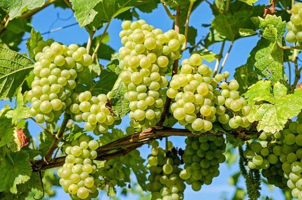 Változnak a szőlő-gyümölcs szaporítóanyag címkék decembertől, a termelőknek érdemes idejében felkészülniük - képünk illusztráció