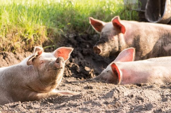 Az emelkedő húsárak ellenére csökken a sertésállomány Magyarországon