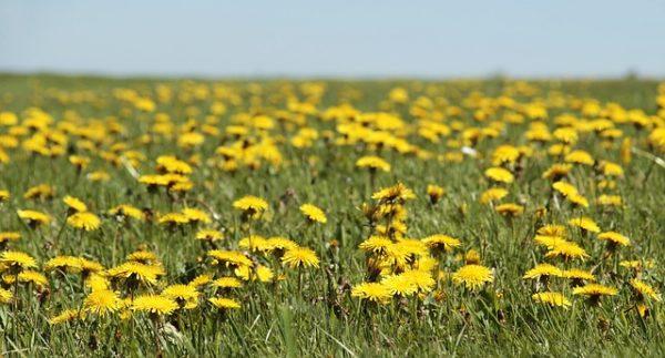 A gyökértől a virágokig, a pitypang minden része ehető (Fotó: Pixabay, pixel2013)