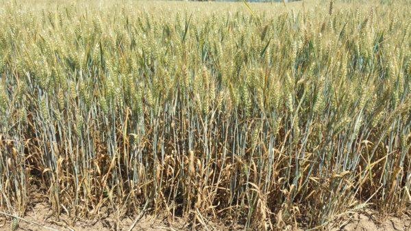 Nem idén a legboldogabbak a gabonakereskedők: alacsonyak a gabonaárak