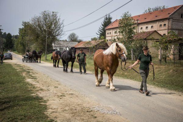Amennyiben az esztétikai élményen túl több célra is bizonyíthatóan hasznosíthatóak a hidegvérű lovak, ménes létrehozása is szóba jöhet Somogyban - Fotó: Pelsőczy Csaba