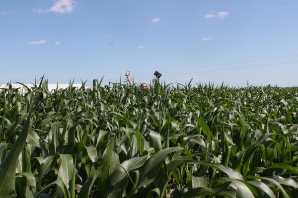 És így az ICL technológiával kezelt kukoricában