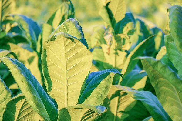 Jobb a dohány minősége a tavalyinál (Fotó: Pixabay, Couleur)