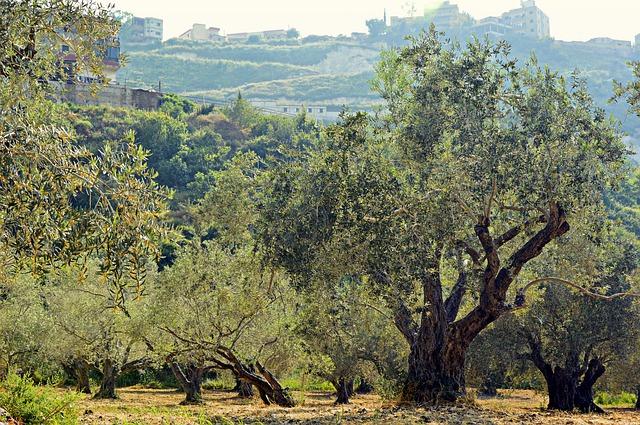 A betegség 230 ezer hektáron összesen egymillió olajfa pusztulását okozta Olaszországban (Fotó: Pixabay, Peggychoucair)