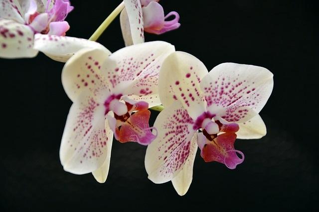 Az orchideagondozásnak van néhány trükkje (Fotó: Pixabay, Peggychoucair)