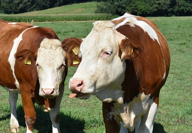 Kazahsztán 2018 és 2027 között egymillió szarvasmarha importját tervezi (Fotó: Pixabay, Alexas_Fotos)