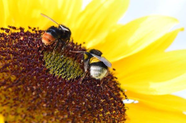 A méhek és a vadon élő beporzók védelmében szeptemberben is oda kell figyelni a szabályos növényvédelemre - képünkön poszméhek