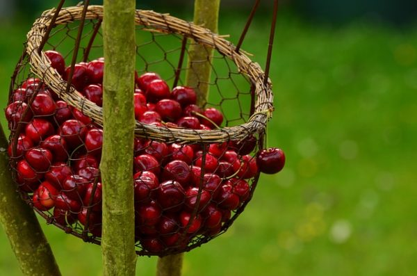 Egyre nagyobb területen folyik cseresznyetermelés Németországban