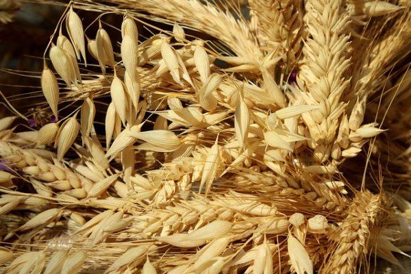 A gabonafélék ára több befolyásoló tényező hatására felfelé tart