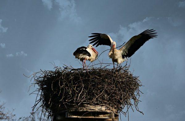 Stratégiát kellett változtatniuk a költöző madaraknak a túlélésért: egyre több gólya próbál meg nálunk áttelelni a klímaváltozás miatt