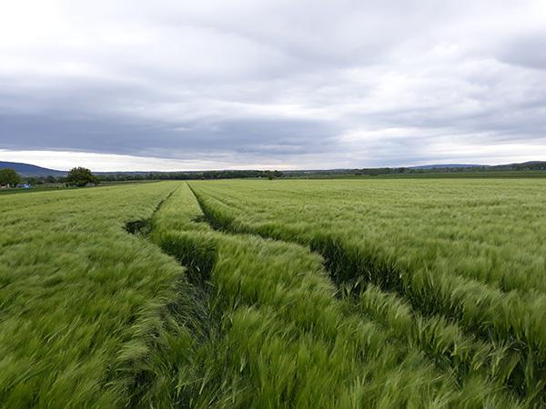 Többféle problémával küzdöttek idén a magyar gabonatermesztők