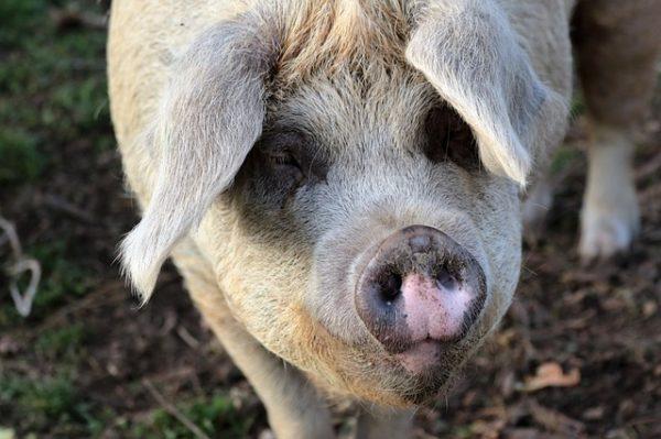 Kínának muszáj több sertéshúst előállítania a lakossági igények kielégítésére (Fotó: Pixabay, Kevsphotos)