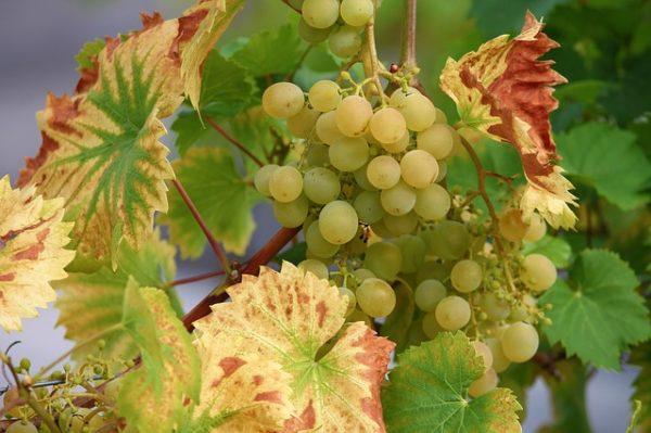 Rajta van a listán a szőlőket fenyegető Xylella fastidiosa nevű baktérium is (Fotó: Pixabay, manfredrichter)