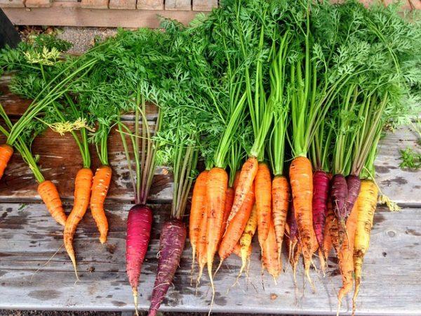 A sárgarépa termelők részére tartottak szakmai rendezvényt Hajóson