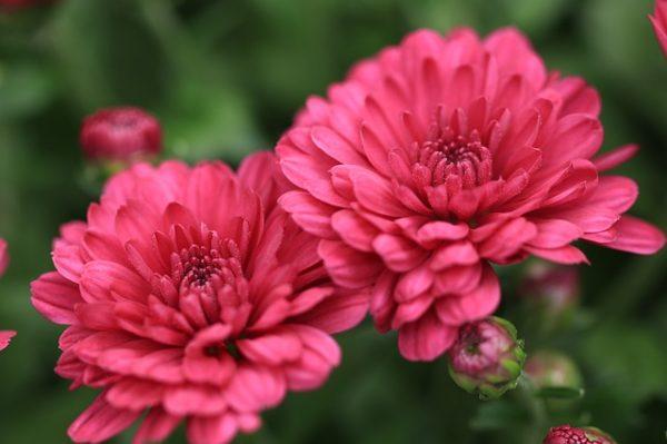 A halottak napjának legnépszerűbb magyar virága a krizantém
