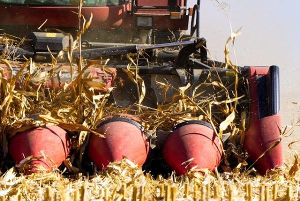 A NAK szakemberei szerint jó lesz a terméseredmény az őszi betakarítású növényeknél az idén - képünkön a kukorica betakarítása