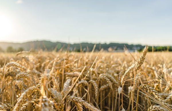 A mezőgazdasági export egyik legnagyobb húzóáruja volt idén az első fél évben a gabona