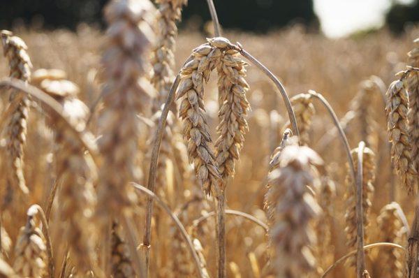 A gabonaárak alakulását jelentősen befolyásolják az orosz és az ukrán terméseredmények
