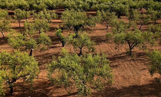 Sok spanyol olívatermelő munkáját teheti tönkre, ha az árak továbbra is alacsonyan maradnak és még a tervezett amerikai büntetővámok is érvénybe lépnek a termésre - képünk illusztráció