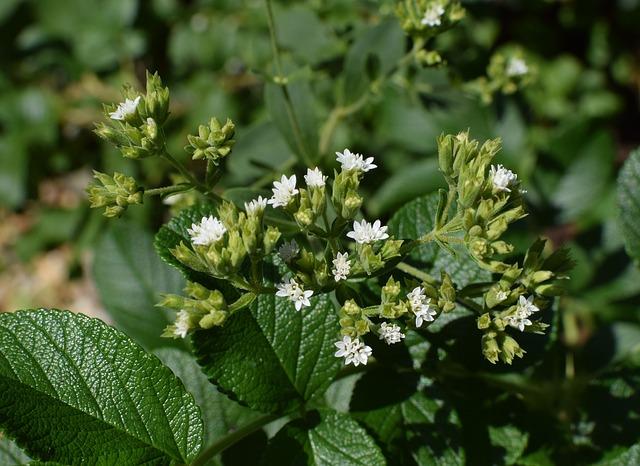 Otthon is eredményesen termeszthető a szuperédesítő stevia