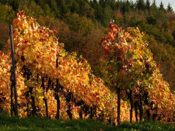 Jó minőségre számítanak a szekszárdi szőlőtermesztők az idén - képünk illusztráció
