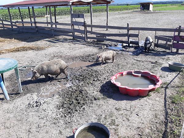 Komoly gondokat okoz a románoknak az afrikai sertéspestis terjedése, a legutóbb 13 ezer sertés elpusztításáról határoztak - képünk illusztráció