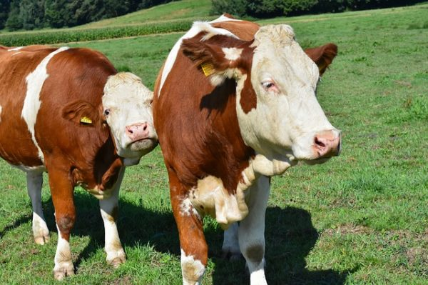 Miért kell a magyaroknak a selejt marhahús  a minőségi helyett? (Fotó: Pixabay, Alexas_Fotos)