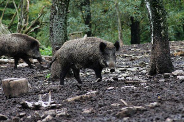 Egyre több bajt és kárt okoz a vaddisznó a Balaton környéki települések belterületein