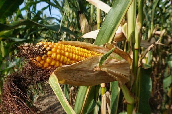 A kukorica termésátlaga 9 tonna feletti lett Tolna megyében hektáronként, ami országos szinten jónak számít
