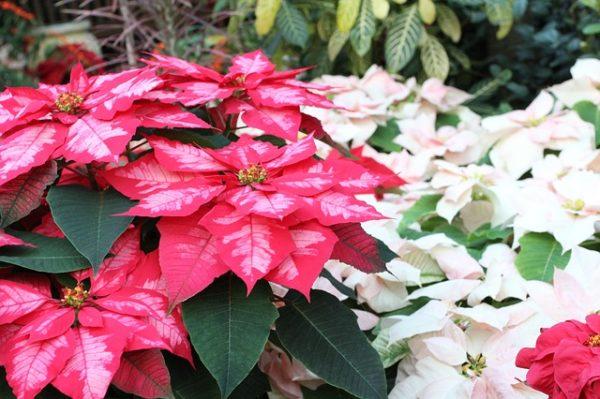 Több színben és méretben is kapható a mikulásvirág, a termesztők szeretnék, ha nem csak néhány hétig tartana a szezonjuk