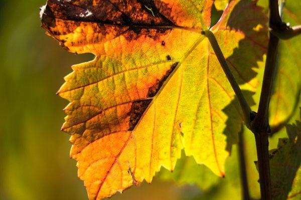A Dunától keletre is felbukkant a szőlő aranyszínű sárgaság betegsége - képünk illusztráció