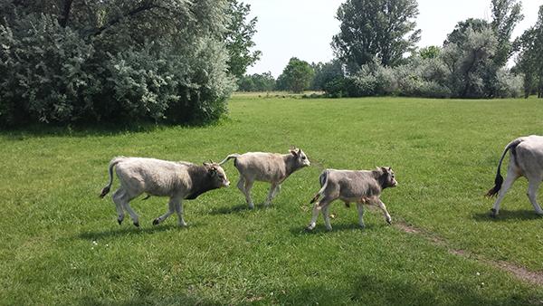 Több 100 szürkemarha borjú érkezésére számítanak a 300 tehéntől Montág-pusztán - képünk illusztráció