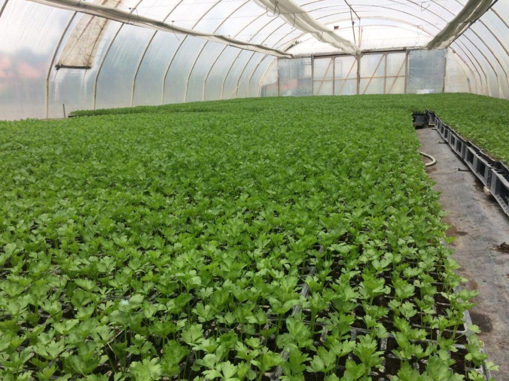 A fóliás termesztők komoly sikereket értek el a burkolt, szabályozott feltáródású Agromaster használatával (Fotó: ICL-SF)