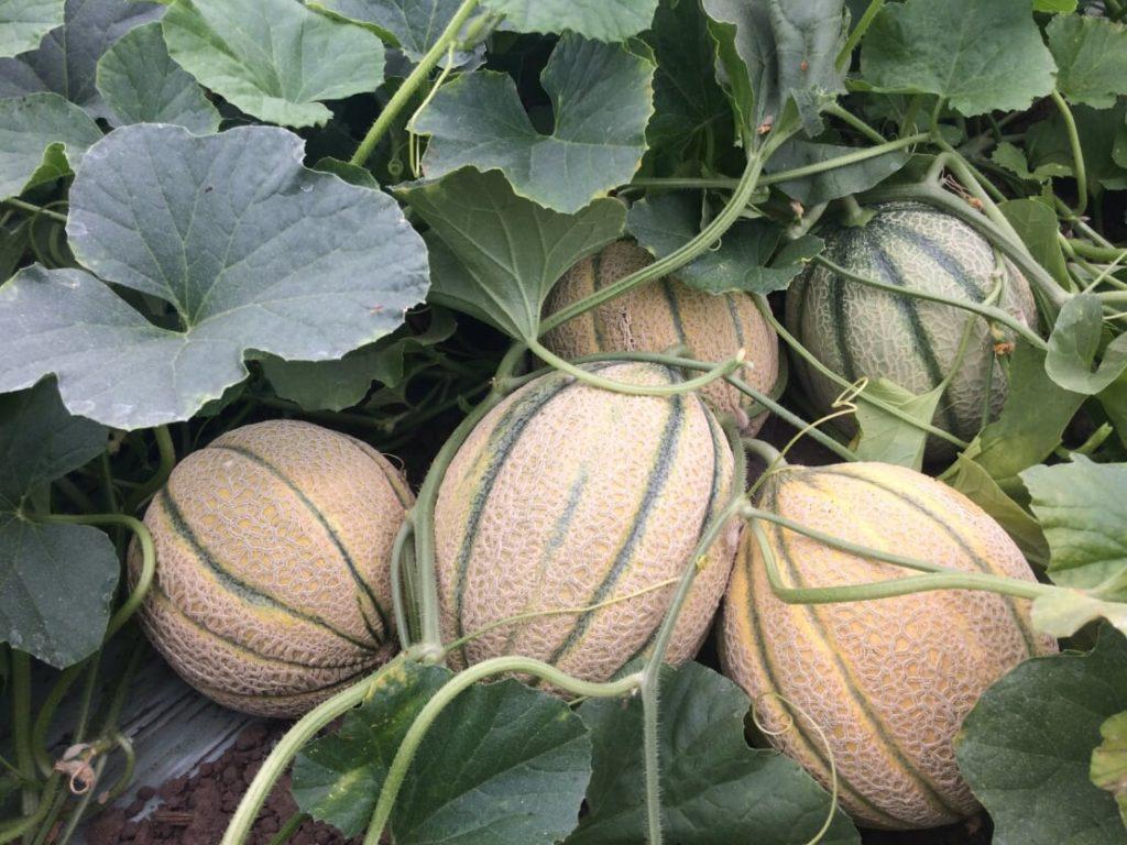 Az Agromaster elősegíti a folyamatos növekedést, tömeggyarapodást a termesztési ciklus teljes időtartama alatt (Fotó: ICL-SF)
