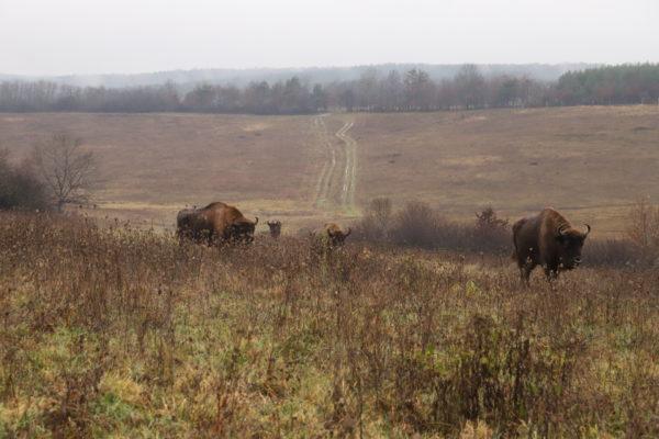 A zárt, 70 hektáros területen 1 bölénybika és 6 tehén él, amelyek 6-7 évesek - Fotó: Őrségi NPI - Németh Csaba