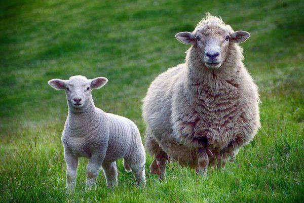 Új-Zélandon  az üvegházhatású gázkibocsátás mintegy 30 százaléka az állati legeltetés során keletkezik (Fotó: Pixabay, TheDigitalArtist)