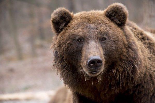 Kegyetlen mészárlást rendezett a medve egy székelyföldi háztáji gazdaságban (Fotó: Pixabay, Bodsa)