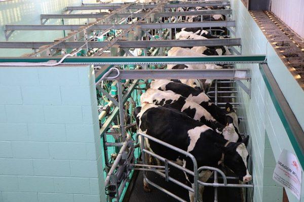 Közel 2 milliárd forintot fordítanak az egészségesebb tejtermékek kutatására Kaposváron - képünk a fejőházból illusztráció