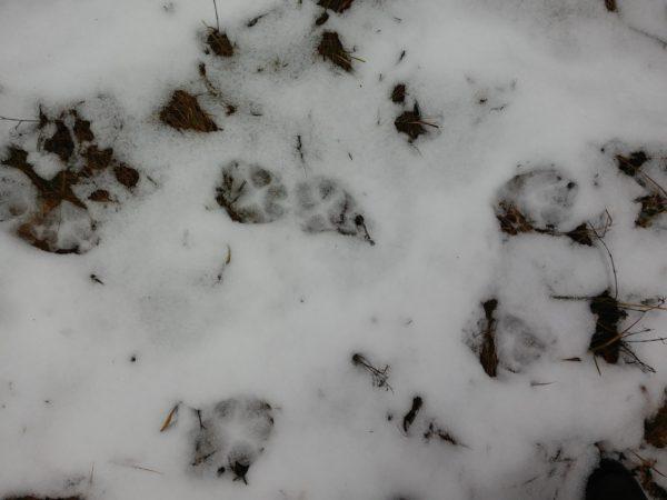 Farkasnyomok a hóban. Fotó: Gombkötő Péter