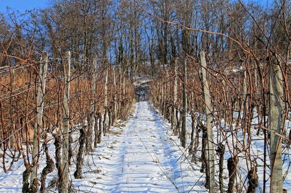A metszés a szőlőtermesztés egyik legfontosabb, de legmunkaigényesebb művelete (Fotó: Pixabay, Didi20)