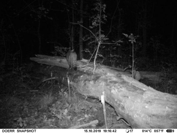 A kameracsapda képe bizonyította: vadmacskák is élnek az Őrségi Nemzeti Park területén